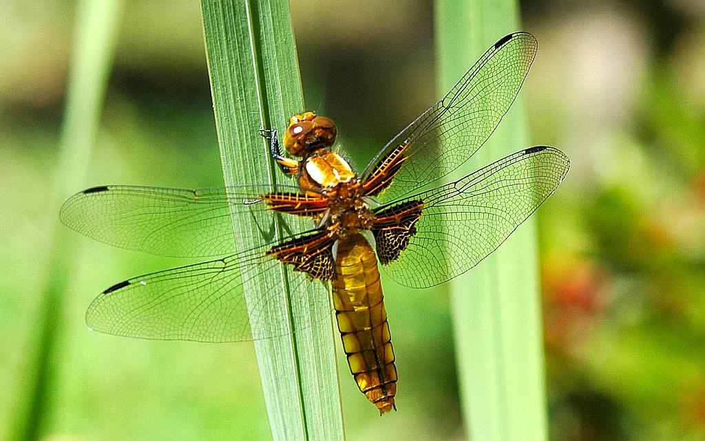 Elicottero E Libellula : Libellule odonati sentieri natura