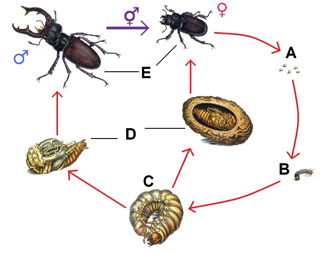 ciclo biologico del cervo volate